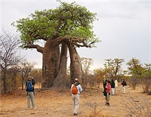 Baobab Tree near the Khwai River
