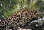 Leopard in the Kruger Park area