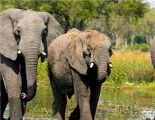 Elephants in the Moremi Game Reserve