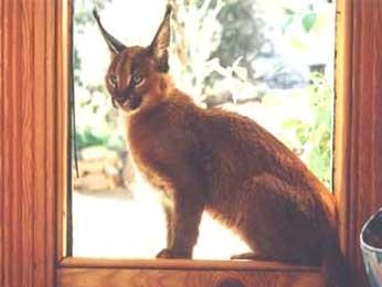 Caracal in window