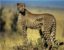 wildlife- cheetah- Nambiti Private Game Reserve