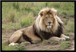Kruger National Park- Lion