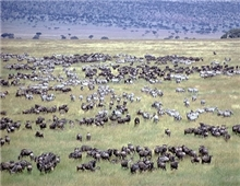 Serengeti National Park- Buffalo