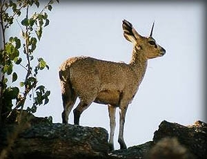 Klipspringer at Augrabies Falls National Park